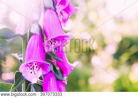 The Purple Flower Is The Foxglove. Purple Bells. Close Up. Beautiful Plant In The Garden. Background