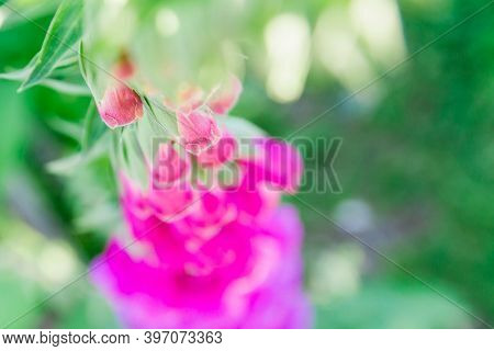 The Purple Flower Is The Foxglove. Buds. Close Up. Beautiful Plant In The Garden. Background. View F