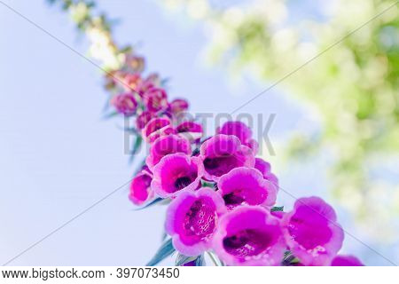 The Purple Flower Is The Foxglove. Close Up. Beautiful Plant In The Garden. Background. Copy Space.