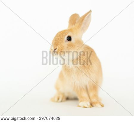 Brown yellow little furry rabbit bunny