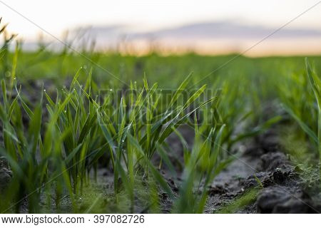 Close Up Young Wheat Seedlings Growing In A Field. Green Wheat Growing In Soil. Close Up On Sproutin
