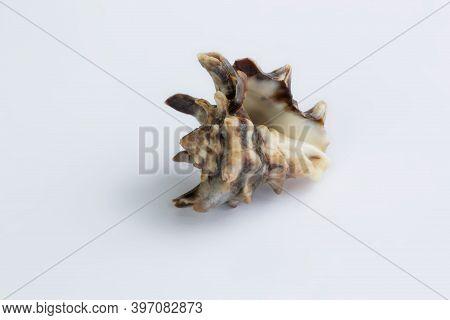 Marine Life: Spiny Itchy Gastropod Seashell Close-up On White Background