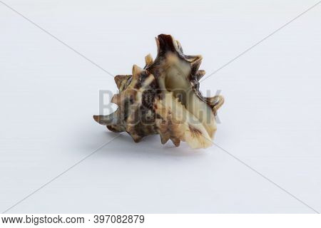 Marine Life: Brown Spiny Gastropod Seashell Close-up On White Background