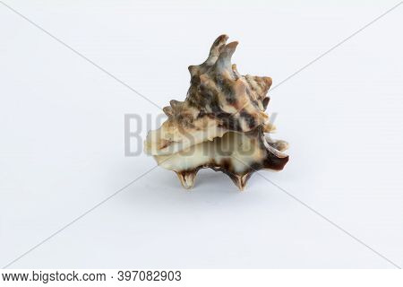 Marine Life: Light Itchy Gastropod Seashell Close-up On White Background