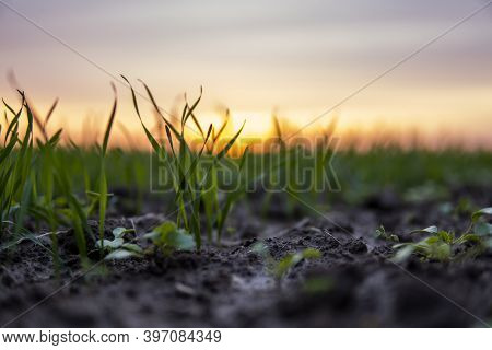 Close Up Young Green Wheat Seedlings Growing In A Soil On A Field In A Sunset. Close Up On Sprouting