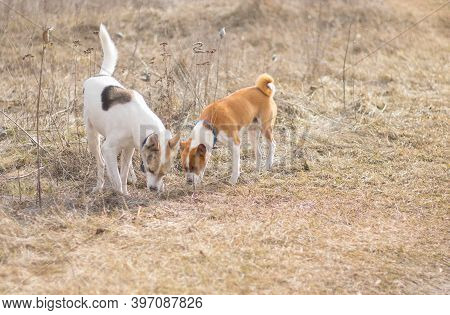 White Mixed Breed Big Dog And Brown Basenji One In Search Of Field Rodent Hole While Hunting Outdoor