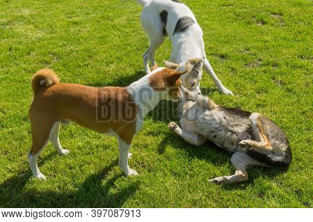 Basenji Male Dog And White Mixed Breed Bigger Male Dog Playing With Black  Mixed Breed Female Dog On