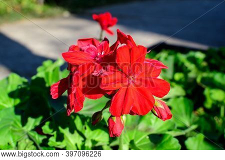 Small Vivid Red Pelargonium Flowers, Known As Geraniums, Pelargoniums Or Storksbills, And Fresh Gree
