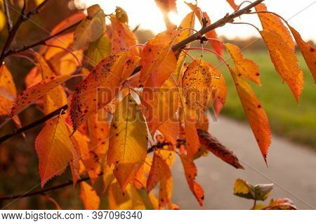A Twig Of A Wild Cherry Tree In Autumn Leaf Colors