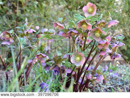 Black Hellebore Heleborus Niger Blooms In March And Have Deep Purple Petals