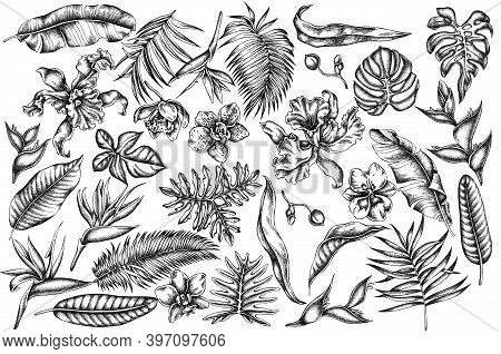 Vector Set Of Hand Drawn Black And White Monstera, Banana Palm Leaves, Strelitzia, Heliconia, Tropic
