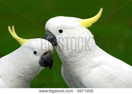 A pair of white cockatoos obviously in love poster