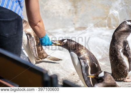 The Woman Feeds Penguins.the Gentoo Penguin Pygoscelis Papua Is A Penguin Species In The Genus Pygos