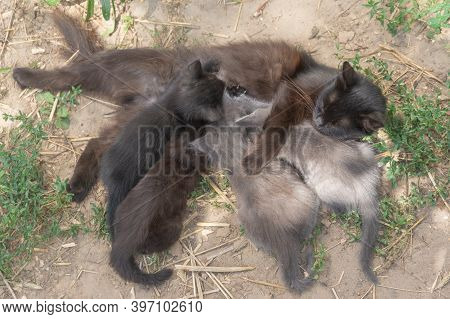 Mother Cat Feeds Her Kittens In Nature