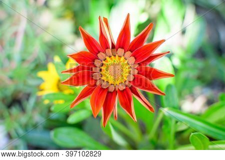 Top View Of Many Vivid Red Gazania Flowers And Blurred Green Leaves In Soft Focus, In A Garden In A
