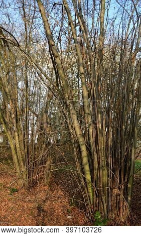 Hazel Shrub Corylus Avellana Has A Lot Of Straight Branches Suitable For Making Bow And Arrow Rods O
