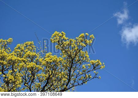 Cornus Mas A Yellow Flowering Shrub In March Beautiful Branches Wrapped With Florets And Makes Great
