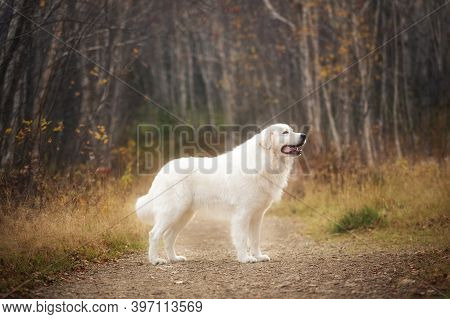 Big And Beautiful White Maremma Dog Standing In The Autumn Forest