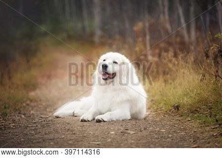 Portrait Of Big Beautiful Maremma Dog Lying On The Path In The Autumn Forest. Happy White Fluffy Ita
