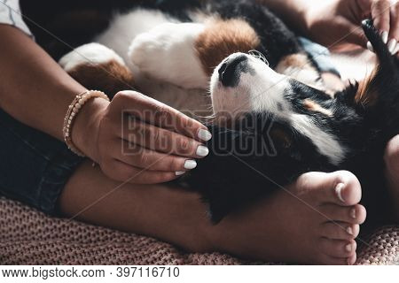 Little Puppy Of Bernese Mountain Dog On Hands Of Fashionable Girl With A Nice Manicure. Animals, Fas