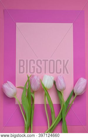 Tulips Flowers. Pink And White Tulips On A Light Pink And Fuchsia Background. Blank Postcard.copy Sp