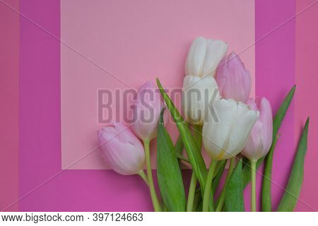 Tulips Flowers. Pink And White Tulips On A Pink And Fuchsia Background. Blank Postcard.copy Space.in