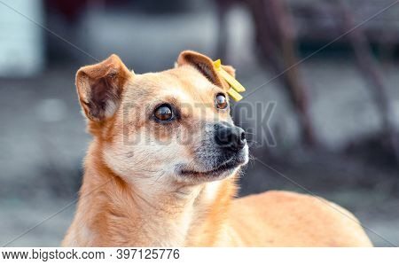 Pet Adoption Mongrel Dog With A Yellow Tag In The Ear Looking Up Hopefully