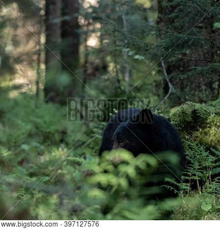 Side Profile Of Black Bear Just Off Trail Near Clingmans Dome In Great Smoky Mountains National Park
