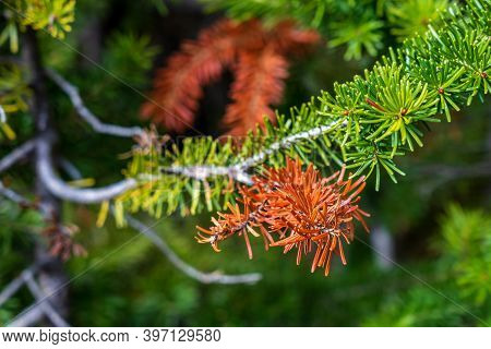 Close-up Of Colorful Needles Of Pine Trees Turning Red In Autumn Sunny Day Morning. Beauty Fall Foli