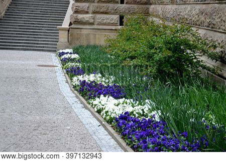 Viola White-blue Flowerbed Along The Sidewalk Leading To The Stairs Stairs Creating Colored Stripes