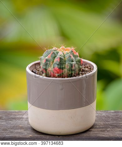 Lophophora Williamsii, Cactus Or Succulents Tree Decorative In Flowerpot On Wood Striped Background