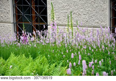 Digitalis Purpurea Tall Stately Foxglove Plants Have Long Been Included In Garden Areas Where Vertic