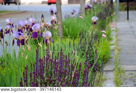 The Flowerbed Between The Sidewalk And The Roadway Of The Street Is Planted With Flowers Of Purple A