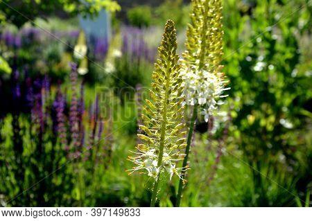 Salvia Nemorosa Eremurus Stenophyllus Prairie Flower Bed With Large Sage Perennials And Tall Yellow