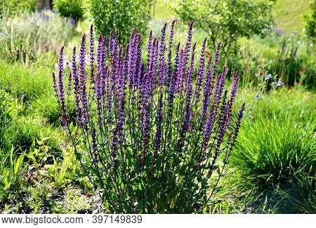 Salvia Nemorosa Stippa Capilata Lush Flower Bed With Sage Blue And Purple Flower Color Combined With