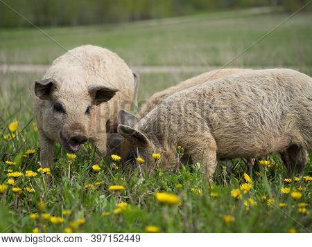 Magnificent Piglets Of The Hungarian Mangalitsa Breed. Shaggy Hair In Pigs.