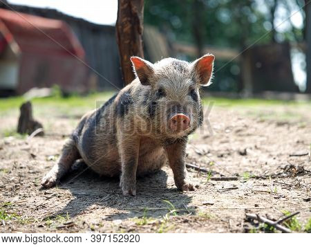 Cute Little Pig. Portrait Of A Pig With A Pink Dirty Piglet
