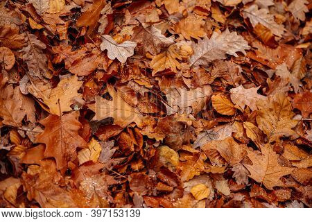 Fresh Dew Drops And Snow On Fall Colored Leaves, Orange, Yellow And Red Maple Autumn Leaves Lie On T