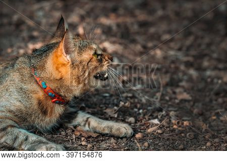 Grinning Cat In Collar With Mice Looks At Prey With Fangs Bared. Angry Feline Predator Hunt Outdoors