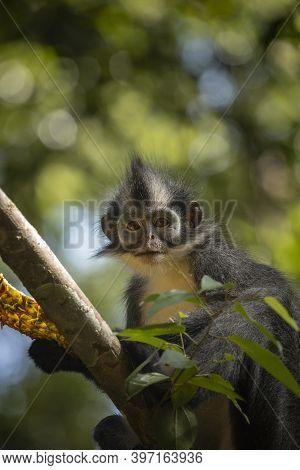 Wild Thomas's Langur, A Primate Mammal, Also Known As Presbytis Thomasi, Looks Around The Rainforest