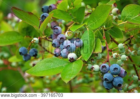 Northern Blueberry Bush (vaccinium Boreale) Cultivated In Organic Household