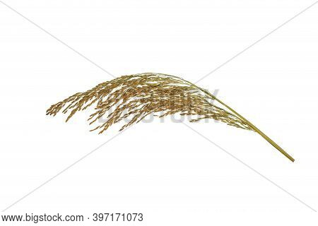 Organic Paddy Rice,ear Of Paddy, Ears Of Thai Jasmine Rice Isolated On White Background. Top View.