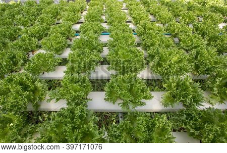 Hydroponics,organic Fresh Harvested Vegetables,farmers Looking Fresh Vegetables. Farmers Working Wit