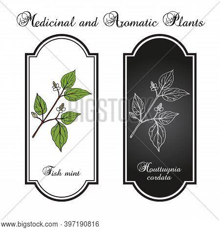 Fish Mint Houttuynia Cordata , Or Chameleon Plant, Heart Leaf, Fish Wort, Chinese Lizard Tail, Or Bi