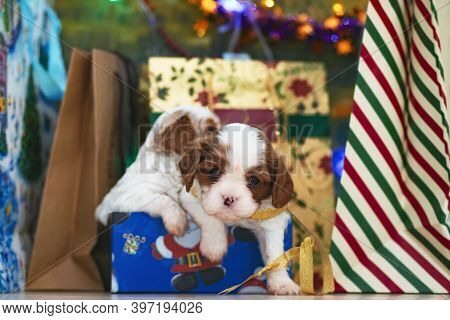 Puppies, Small Dogs Cavalier King Charles Spaniel For Christmas By A Christmas Tree, Postcard.