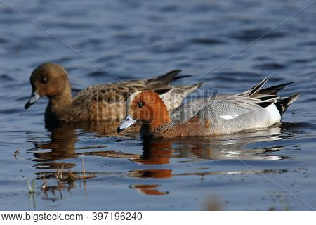 The Eurasian Wigeon Or Eurasian Widgeon (anas Penelope) A Pair Of Ducks On The Water. Colorful Nordi