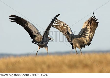 The Common Crane (grus Grus), Also Known As The Eurasian Crane While Dancing. A Pair Of Large Europe