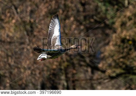 The Greylag Goose, Anser Anser Is A Species Of Large Goose In The Waterfowl Family Anatidae And The