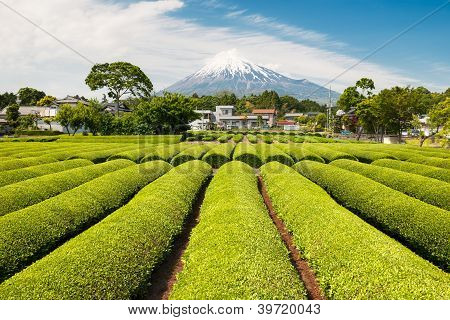 Green Tea Field With Mt Fuji