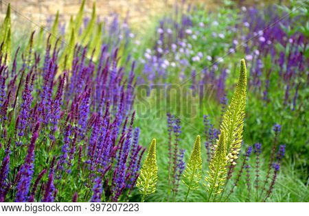 Salvia Nemorosa Eremurus Stenophyllus Prairie Flower Bed With Large Sage Perennials And Tall Yellow